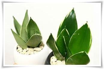 【観葉植物雑学】サンスベリアはパートナー